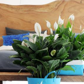 AL jaren mijn favoriet en nu de woonplant van het jaar: Spatiphyllum - lafemmeactuelle.fr